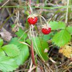 Markjordbær